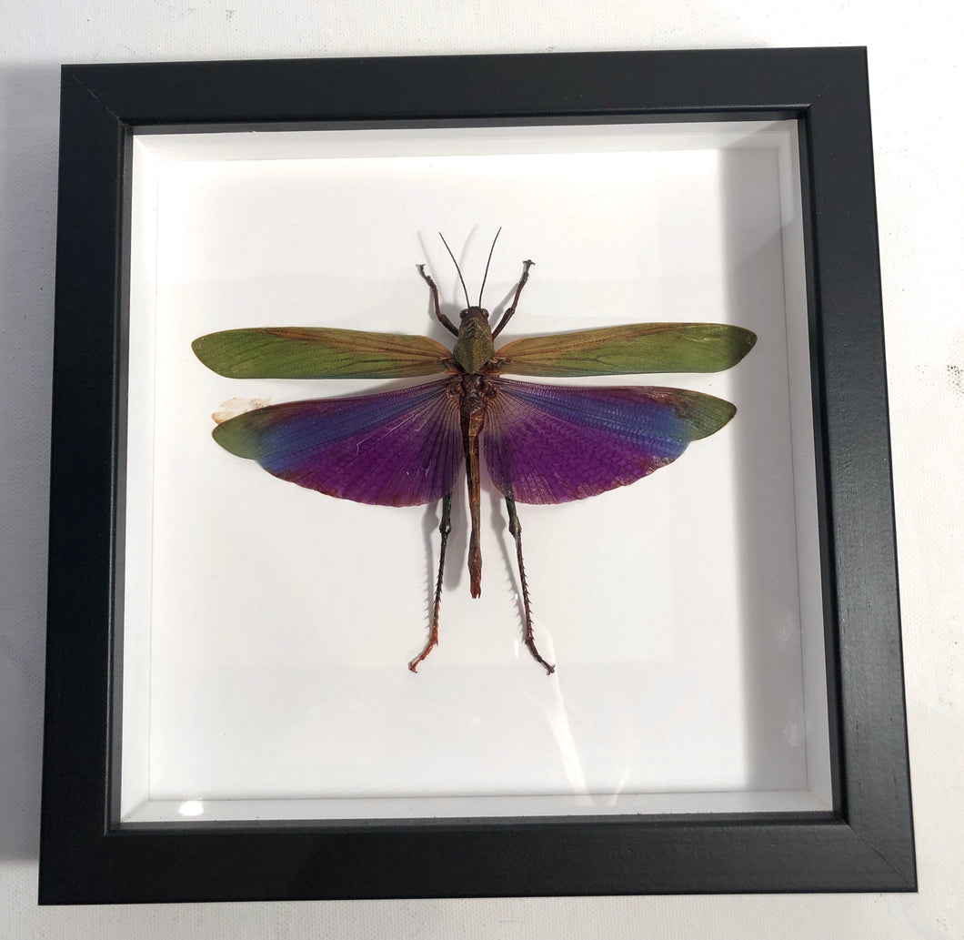 Passion Locust - Framed