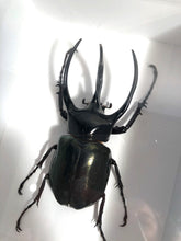 Load image into Gallery viewer, Giant Atlas Beetle - Framed