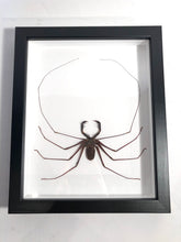 Load image into Gallery viewer, Giant Whip Scorpion - Framed