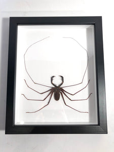 Giant Whip Scorpion - Framed