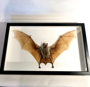 Giant Diadem Leaf-Nosed Bat - Framed