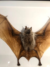 Load image into Gallery viewer, Giant Diadem Leaf-Nosed Bat - Framed