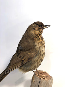Taxidermy Song Thrush