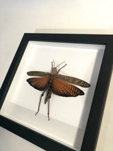 Load image into Gallery viewer, Mango Locust - Framed