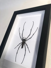 Load image into Gallery viewer, Golden Orb Web Spider - Framed