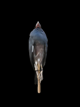 Load image into Gallery viewer, Java Sparrow Study Skin by Antoinette Ratcliffe