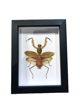 Load image into Gallery viewer, Giant Malaysian Shield Mantis - Framed