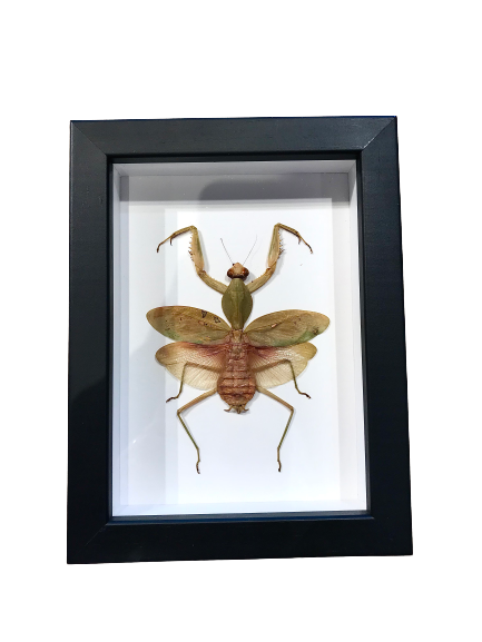 Giant Malaysian Shield Mantis - Framed