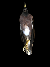 Load image into Gallery viewer, Myna Bird Study Skin - Antoinette Ratcliffe