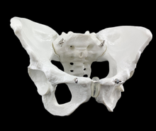 Load image into Gallery viewer, Female Pelvis Model