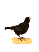 Load image into Gallery viewer, Eurasian Blackbird Taxidermy