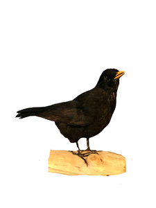 Eurasian Blackbird Taxidermy