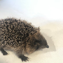 Load image into Gallery viewer, Baby Hedgehog Taxidermy