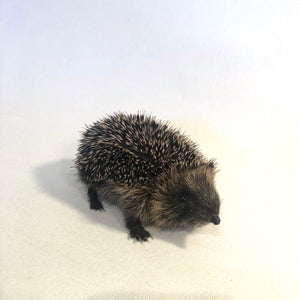 Baby Hedgehog Taxidermy