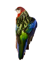 Load image into Gallery viewer, Eastern Rosella Bird - Taxidermy