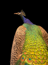 Load image into Gallery viewer, Taxidermy Peacock on Vintage Stand