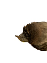 Load image into Gallery viewer, Taxidermy Pigeon - Death Pose