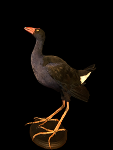 Pūkeko Taxidermy