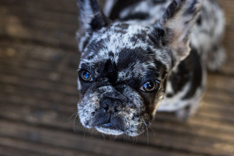 French Bulldog Common Health Issues
