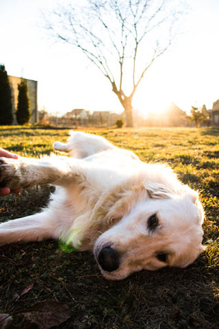 how to treat hip dysplasia in dogs