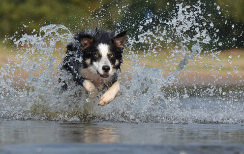 what are Border Collie common health problems
