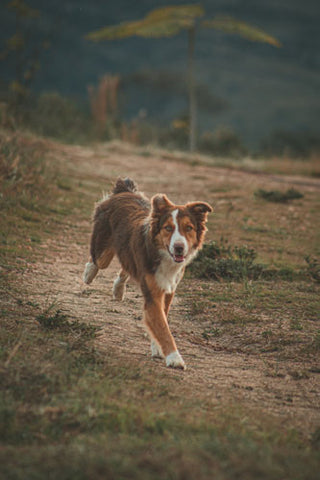 what is spinal arthritis in dogs