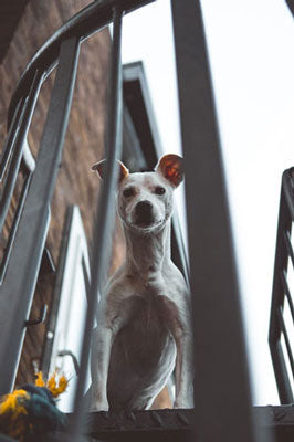 why is my dog afraid of stairs