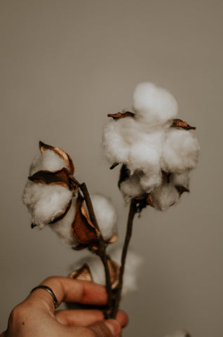 cotton bols on a twig, held in a hand