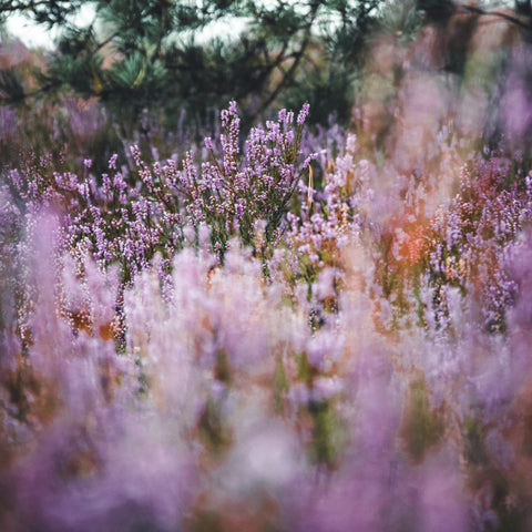 lavender growing wild under a canopy of trees