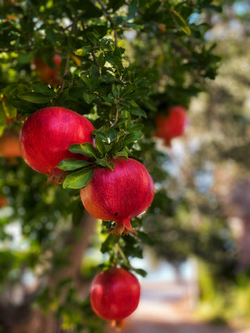 pomegranates hanging from a tree