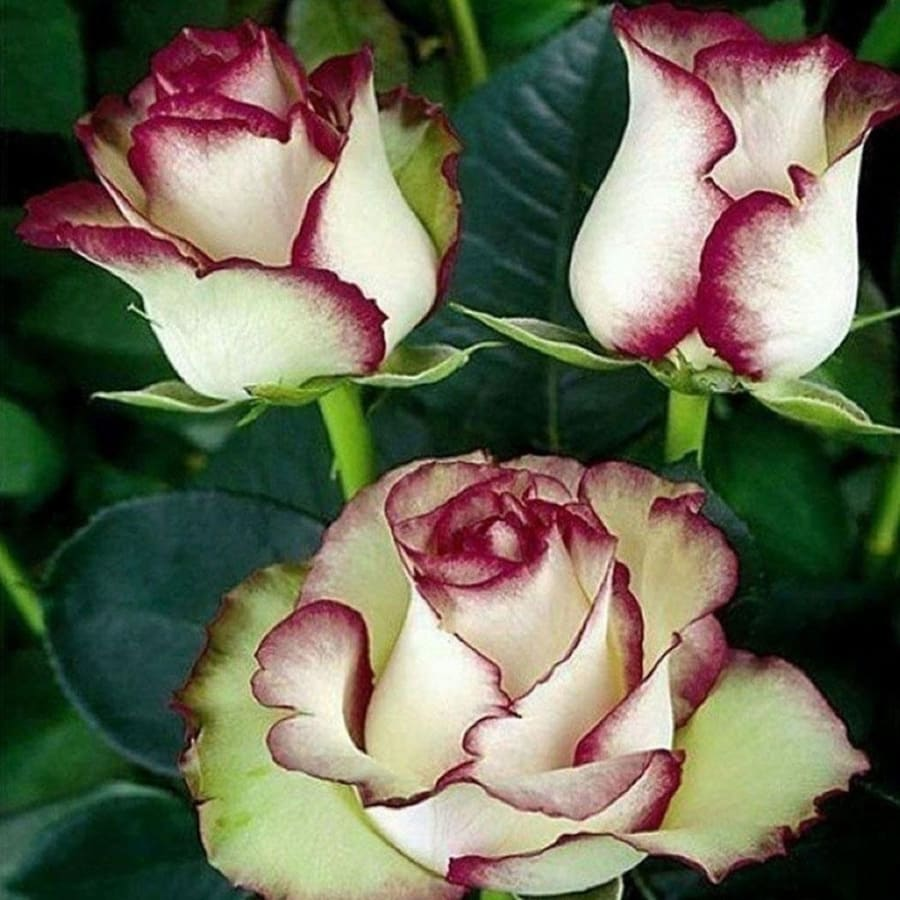 New Nice Adorable Flower Fragrant Seeds Fragrant Blooms Rose Seeds
