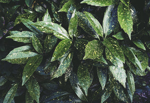dark green foliage with yellow speckles