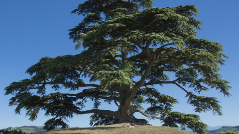 cedar of lebanon, historical cultural and religious significance of cedarwood oil