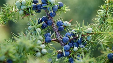 diffuse juniper essential oil to add clarity and piney freshness
