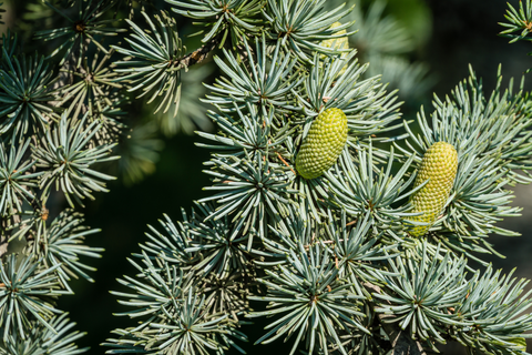 cedarwood essential oil can bring the crisp scent of evergreen forests into your home