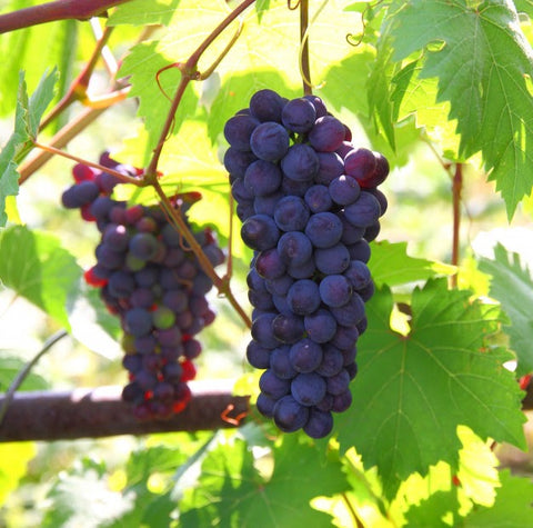 Benefit of SWISSE Grape Seed - iPharmaHome Pharmacy Online Malaysia