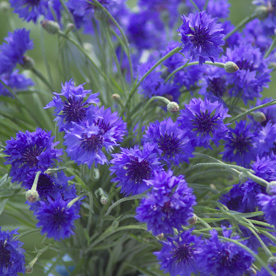 Dwarf Blue Cornflower