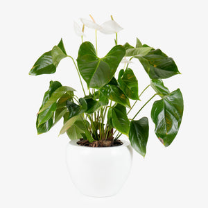 Anthurium Plant - Wudflowers