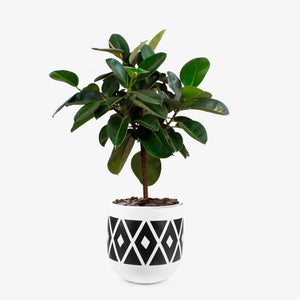 Ficus elastica - Wudflowers