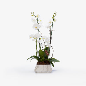 Double Stemmed Phalaenopsis - Wudflowers