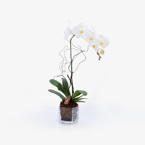 Single Stemmed Phalaenopsis - Wudflowers
