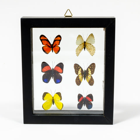 Framed Collection of Six Butterfly Specimens