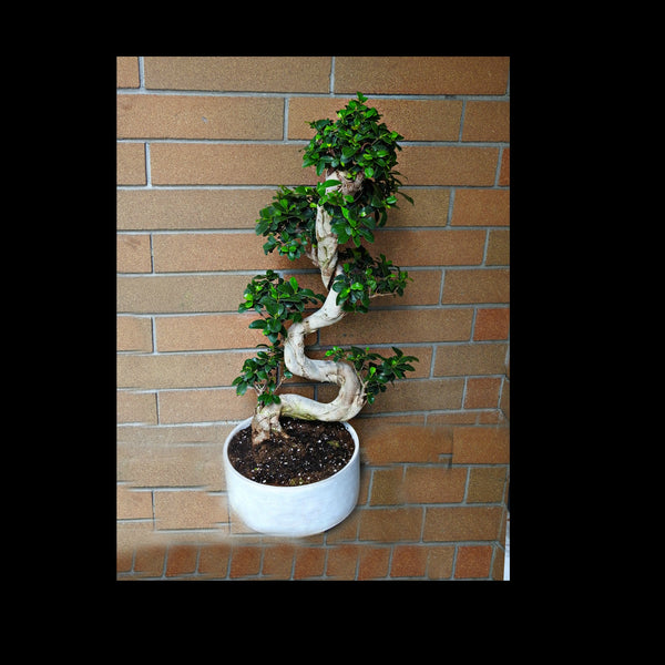 Snake Bonsai Tree - Tooka Florist