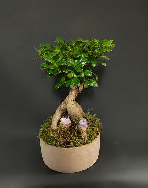 Bonsai Tree - Tooka Florist