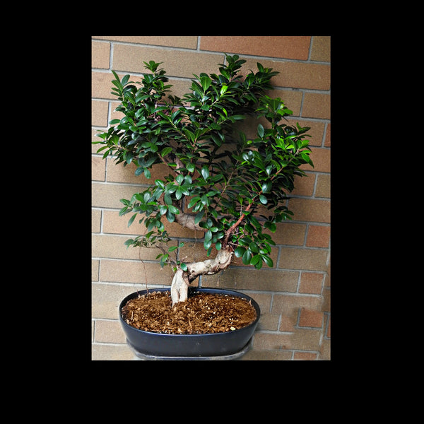 Grande Bonsai Tree - Tooka Florist