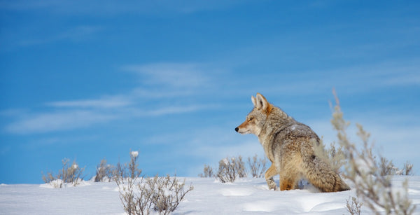 Coyote on the Crest