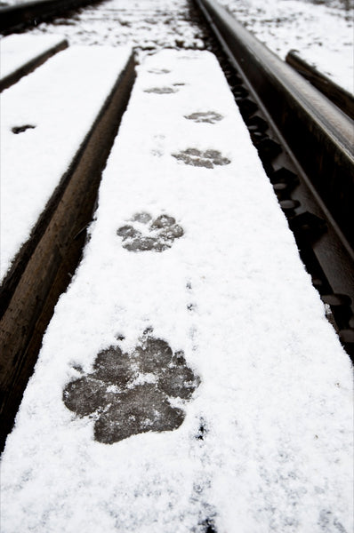 Wolf Tracks (left by 'The Black')
