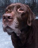 "Chocolate Lab Retriever in The Snow 504 Piece 16"" X 20"""