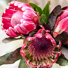 Load image into Gallery viewer, Pink Picasso Pretty Protea