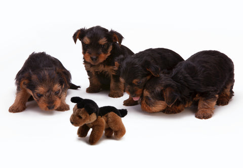 Black and brown long-haired puppies